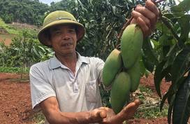 Cụ ông thu 120 triệu mỗi năm từ trồng xoài Đài Loan