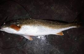 """Cá """"lạ"""" nghi là sủ vàng sa lưới ngư dân Hà Tĩnh, trả 150 triệu đồng chưa bán"""
