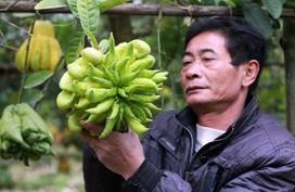 Chủ vườn tiết lộ giá phật thủ bán dịp Tết Nguyên Đán