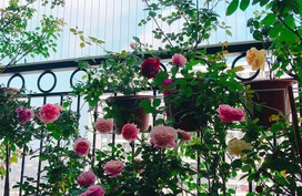 Ban công chỉ 5m² nhưng bốn mùa nở hoa và tổ ấm tràn ngập hương thơm của mẹ Hà Thành