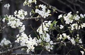 Hà Nội: Lê trắng có giá đến 15 triệu đồng nở ngợp trời trước chợ hoa Quảng An dịp Rằm tháng Giêng