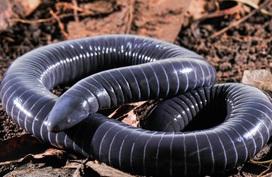 Loài vật không phải rắn nhưng vết cắn có nọc độc đáng gờm
