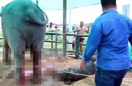 Cảnh tượng voi mẹ giẫm đạp voi con mới sinh không thương tiếc gây ám ảnh nhưng lại bóc trần sự thật chẳng hề dễ chịu