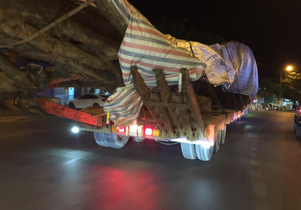 """Xôn xao hình ảnh xe chở cây """"quái thú"""" băng băng chạy trên đường ở Nghệ An"""