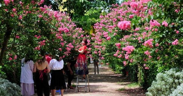 Mê mẩn với vẻ đẹp của con đường hoa tường vi ngay trong lòng Hà Nội