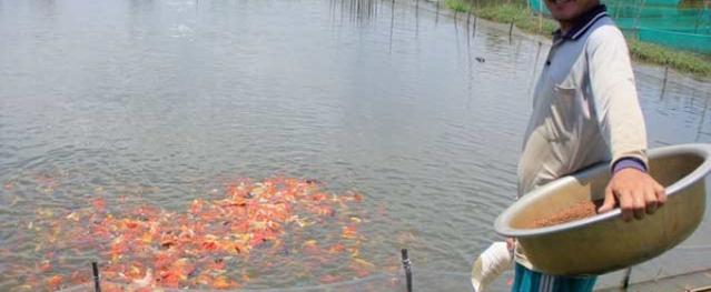 Lão nông nuôi cá cảnh, thu cả trăm triệu/tháng