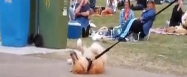 Chó giả chết để không phải đi tản bộ cùng chủ