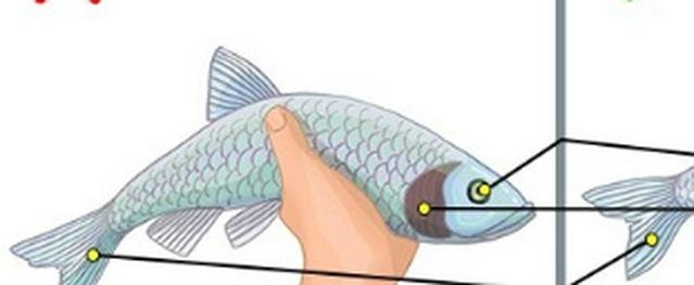 Bí quyết để không bao giờ mua phải cá ươn