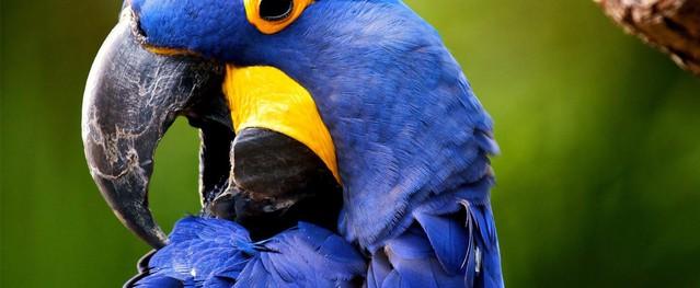 Loài vẹt có khả năng mổ xuyên qua vỏ dừa được săn lùng với giá 14.000 USD