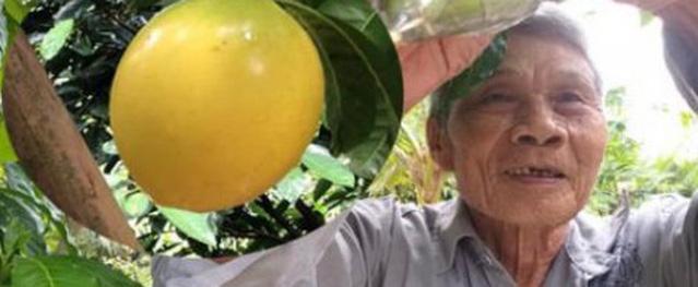 Xuất hiện vú sữa lạ chưa từng có ở Hậu Giang: Trái chín màu vàng óng