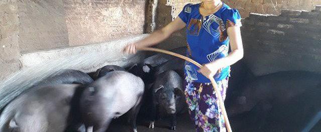 Mẹo nuôi lợn không lỗ, lãi đều cả khi rớt giá