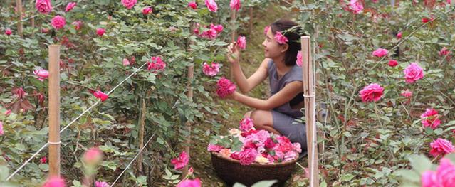 Khu vườn hoa hồng rộng đến 3 ha đẹp ngất ngây giúp cô gái 27 tuổi thoát khỏi bệnh trầm cảm ở Hà Nội
