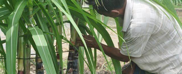 Mía tím mập, giòn, ăn bao nhiêu không chán ở Quảng Ninh