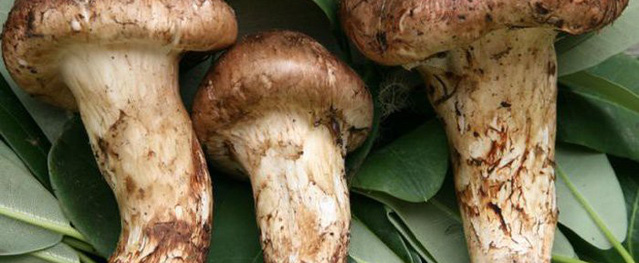 Hàng trăm người đặt tiền, chờ mua loại nấm đắt nhất thế giới về Việt Nam