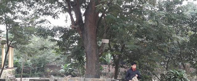 Bắc Ninh: Nhiều người không muốn bán cây sưa trăm tỷ ở làng Đông Cốc