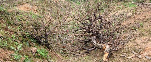 Hình phạt nào cho kẻ phá hoại gần 200 gốc đào Tết ở Bắc Ninh?