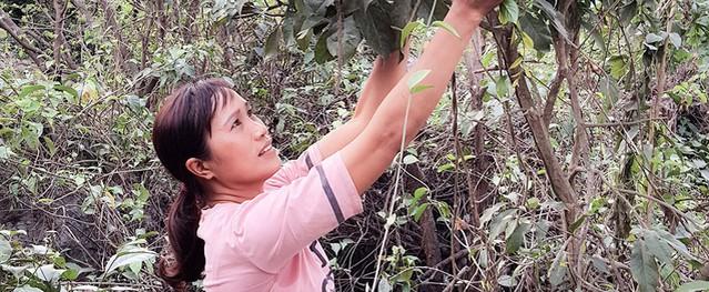 Trèo núi đá lởm chởm săn loài rau rừng nổi tiếng, bán 300 ngàn/kg