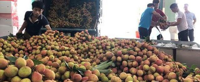 Ngay tại Bắc Giang, vải tươi loại 1 mua tại vườn giá 70.000 đồng/kg