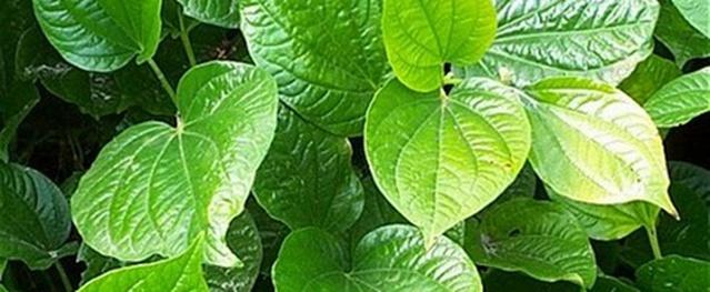 Công dụng chữa bệnh kỳ diệu của lá lốt