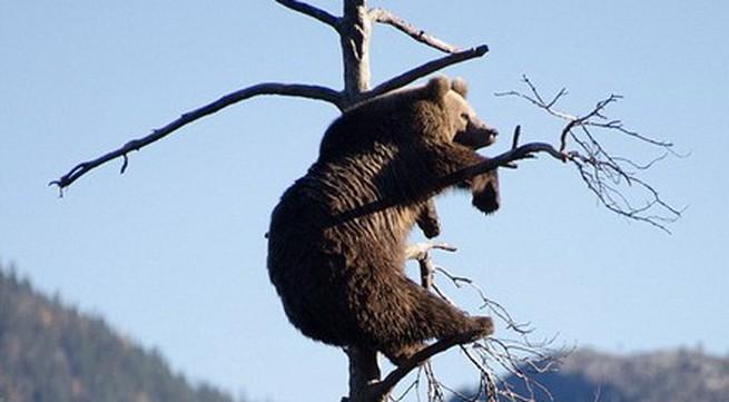 Gấu nâu nặng vài tạ vắt vẻo trên cành cây khô ngắm cảnh