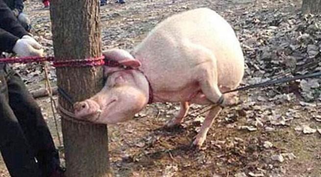Hãi hùng bé 2 tuổi bị lợn cắn chết