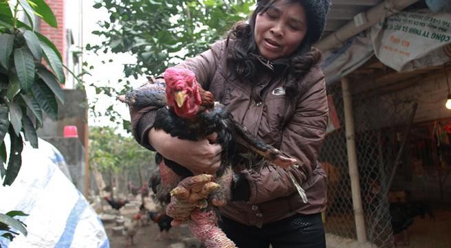 Bí kíp nuôi gà Đông Tảo tiến vua lãi 400 triệu đồng mỗi năm