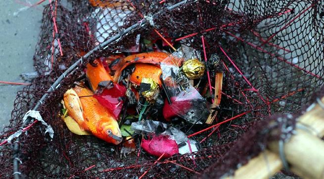Hà Nội: Cá chép đỏ chết la liệt ở hồ sau khi người dân tiễn Táo quân về trời