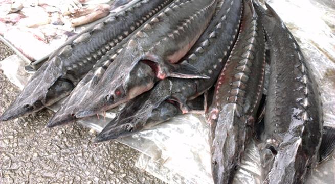 Quảng Ninh: Thu giữ 300 kg cá tầm nhập lậu