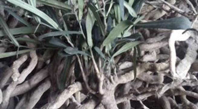 """Cẩn trọng với nguồn gốc cây """"thần dược"""" xáo tam phân"""