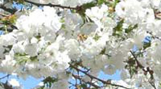 Đặt tên con theo tên các loài hoa (2)