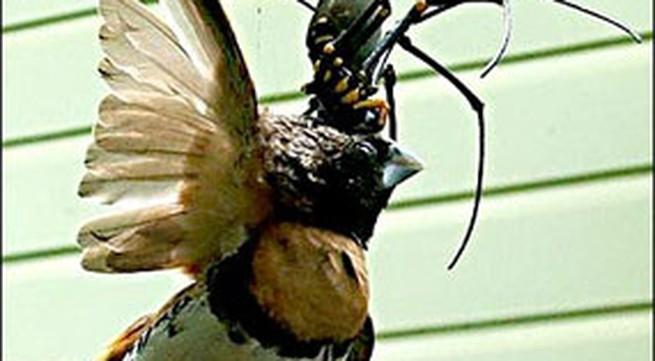 Ảnh: Nhện khổng lồ ăn thịt chim