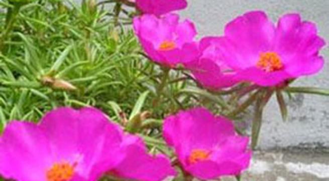 Cây hoa mười giờ - thuốc tiên chữa bỏng