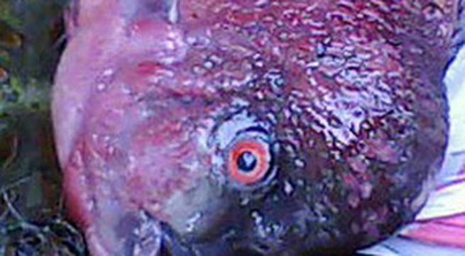 Xôn xao cá 'lạ' ở Hồ Tây
