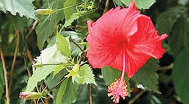 Tác dụng chữa bệnh của cây dâm bụt