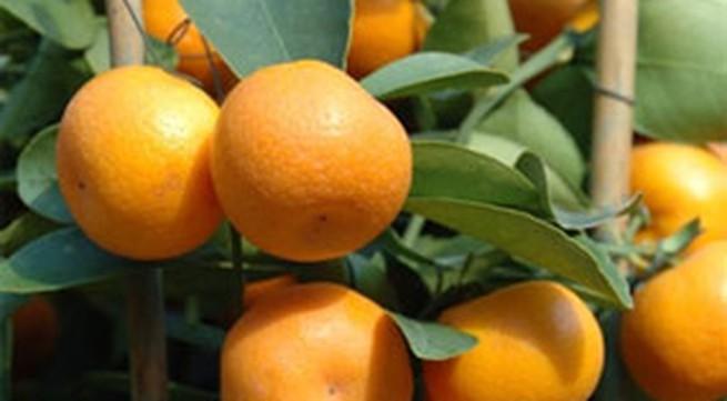 Bài thuốc chữa ho hiệu nghiệm từ cây quả