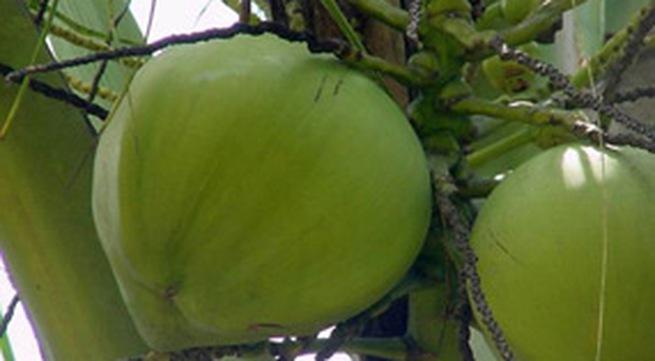 Công dụng chữa bệnh tuyệt vời của quả dừa