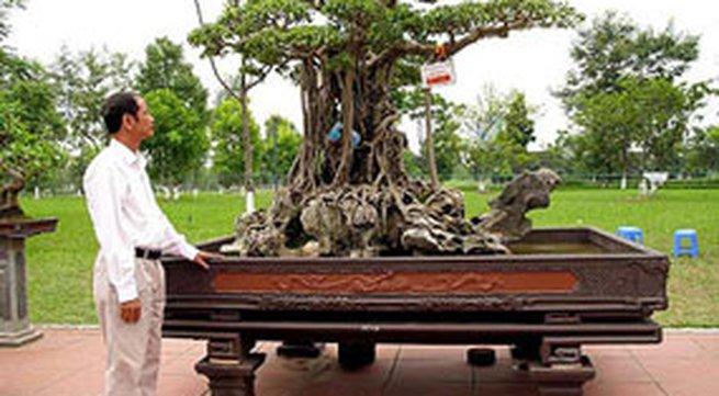Gốc gác cây sanh 120 tỷ trưng bày ở Mỹ Đình