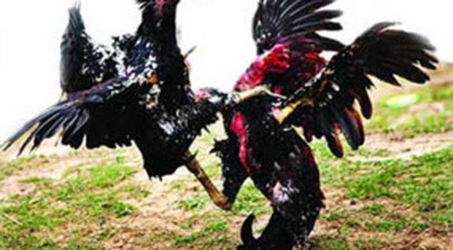 Đá gà kiểu Campuchia