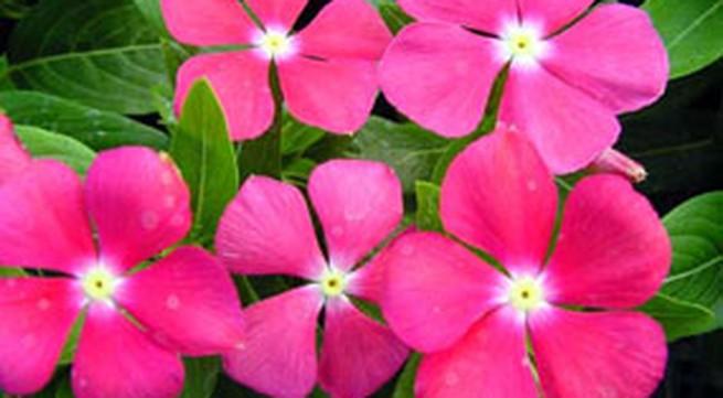 Hoa dừa cạn mang may mắn vào nhà
