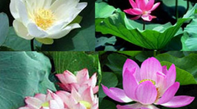 Kết quả bình chọn quốc hoa khu vực miền Trung