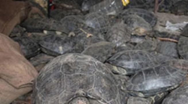 Nhét hàng trăm con rùa trong hành lý