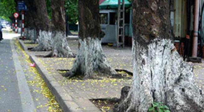 Vì sao gốc cây xanh Hà Nội quét vôi trắng?