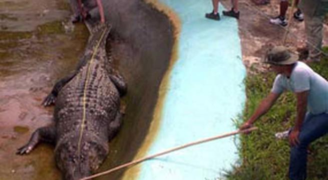 Bắt được cá sấu khổng lồ dài 6,1 m