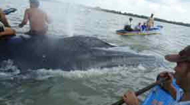 Giải cứu cá voi nặng trên 30 tấn