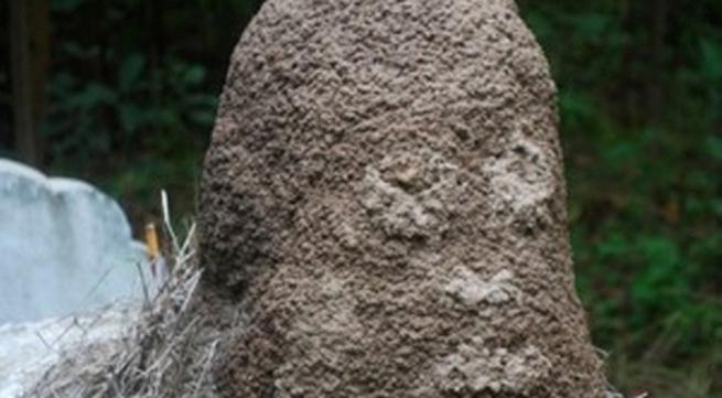 Ụ mối hình đầu người mọc trên mộ