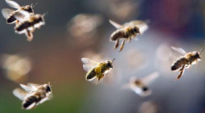 Một người chết vì bị ong đốt