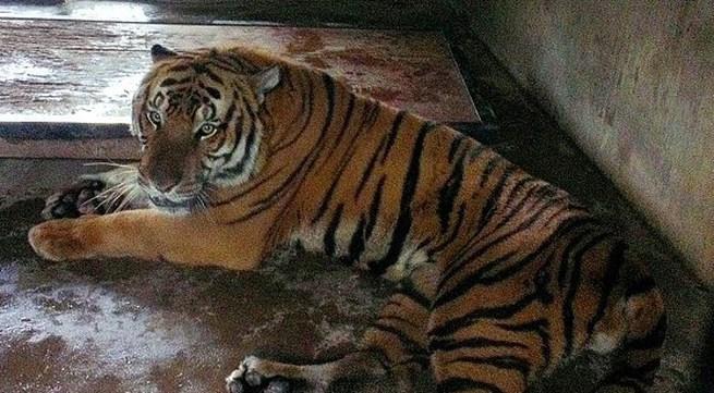 Hổ vồ chết người trong vườn thú Trung Quốc