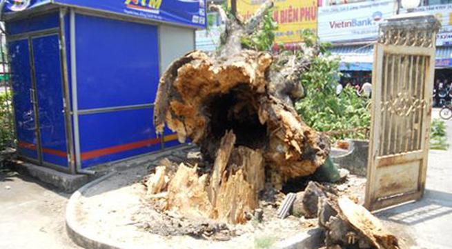 Đổ cây cổ thụ trăm tuổi, người dân kinh hoàng