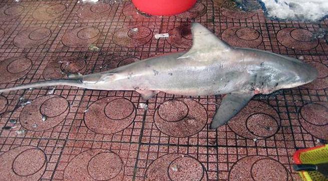 Kinh hãi bắt được cá mập ngay sát bãi tắm