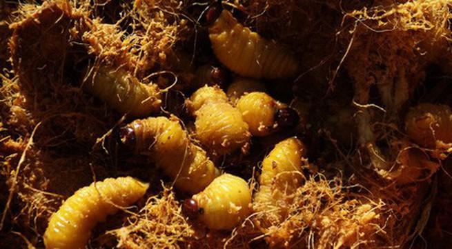4 loại ấu trùng mê hoặc thực khách Việt